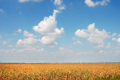 Corn field 03. Corn field over blue sky and clouds Stock Photo
