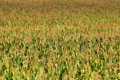 Corn field 07. Corn field in late summer Royalty Free Stock Photo