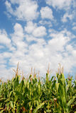 Corn field 09a Stock Photo
