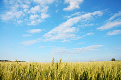 Corn field 1 Royalty Free Stock Photos