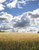 Corn Field 1. Corn field with dramatic blue sky and clouds royalty free stock image