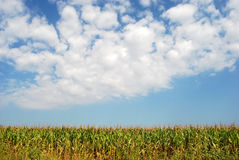 Corn field 10 Royalty Free Stock Image