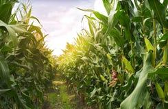 Free Corn Field Royalty Free Stock Image - 100462016