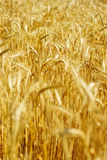 Corn-field royalty-vrije stock afbeelding