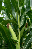 Corn field. Close up of green husked ear of corn in field Royalty Free Stock Photo