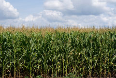 Corn field. Farm field with growing corn under blue sky Royalty Free Stock Image
