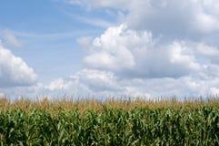 Corn field. Farm field with growing corn under blue sky Stock Photo