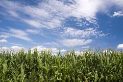 Corn field. A green corn field in front of blue sky background Royalty Free Stock Photography
