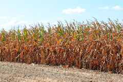 Corn Field. A shot of field of dry yellow corn still in husk on the stalk Stock Photography