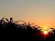 Corn field. Corn in the field - sunrise royalty free stock photography