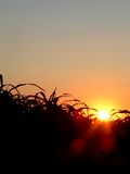 Corn field. Corn in the field - sunrise royalty free stock photos