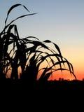 Corn field. Corn in the field - sunrise stock image
