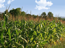Corn field. On a blue sky in summer Royalty Free Stock Photography