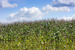 Corn field. Field of green corn against the blue cloudy sky Royalty Free Stock Images