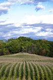 Corn field. Corn rows trees and cloudy sky Stock Images