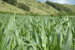 Corn field. Green corn field in front of hill Stock Image