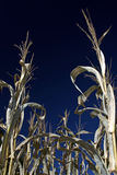Corn field. Ready to harvest corn field under dark blue sky Royalty Free Stock Image