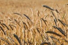 Corn field. A corn field. the sun is shining Royalty Free Stock Photo