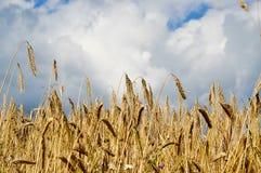 Corn field. A corn field. the sun is shining Stock Photos