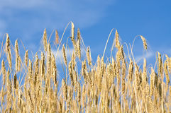 Corn field. A corn field. the sun is shining Royalty Free Stock Photography