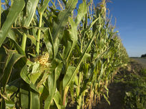 Corn field. A corn field in Brittany, France stock photography