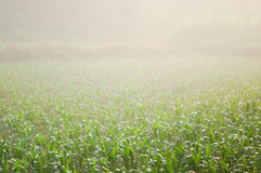 Corn field 12 Royalty Free Stock Photography