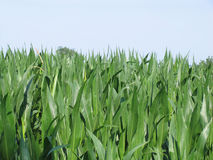 Corn field. Green plants Royalty Free Stock Images