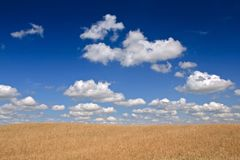 Corn field. Fields of corn and cloudy blue sky (ideal for wallpaper Stock Images