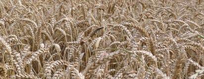 Corn field. Details of green corn field Stock Photography