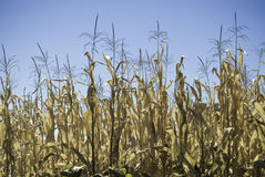 Free Corn Field Stock Photo - 12581220