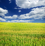 Corn field. Agricultural landscape of corn field on small scale sustainable farm Royalty Free Stock Photography