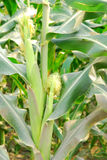 Corn field. Royalty Free Stock Photos
