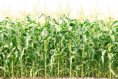 Corn field. Sweet corn field with white background Royalty Free Stock Photo