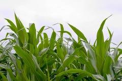 Corn field. In Dordogne, France royalty free stock image