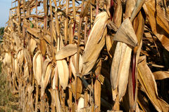 Fall Corn Field. Corn on Stalks in a field ready for harvest royalty free stock photography