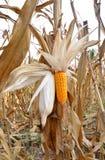 Corn field. Focus on open corn pod Royalty Free Stock Photos