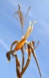 Corn field. Against blue sky Stock Image