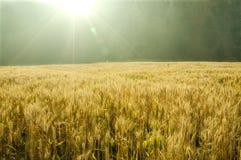 Free Corn Field Royalty Free Stock Image - 14813666