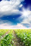 Corn field. Green gorn field, beautiful sunny day Royalty Free Stock Images