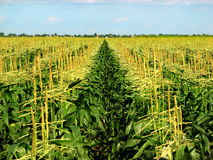 Corn Field. Extending to horizon in South Florida, USA Stock Photos