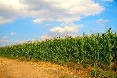 Free Corn Field Royalty Free Stock Images - 15397789