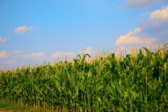 Free Corn Field Stock Images - 15397864