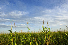 Corn field. With blue cloudy sky landscape Stock Image