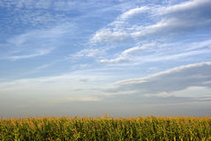 Corn field. With blue cloudy sky landscape Stock Photos