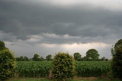 Corn Field. A corn field under heavy weather circumstances royalty free stock photo