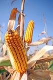 Corn at field Stock Photo