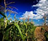 Free Corn Field Royalty Free Stock Photography - 17350067