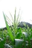 Corn field Royalty Free Stock Image