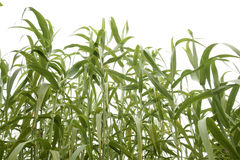 Corn field 2 royalty free stock photography