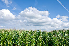 Corn field. Edge of corn field against bright blue sky and fluffy clouds Royalty Free Stock Photography